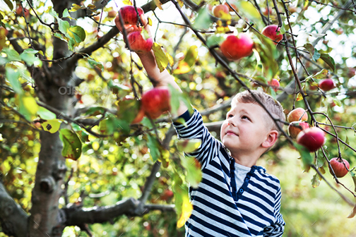 [Photo of a boy with a basket of fresh-picked apples]