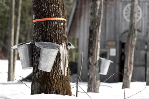 [Photo of collecting sap from tapped trees]