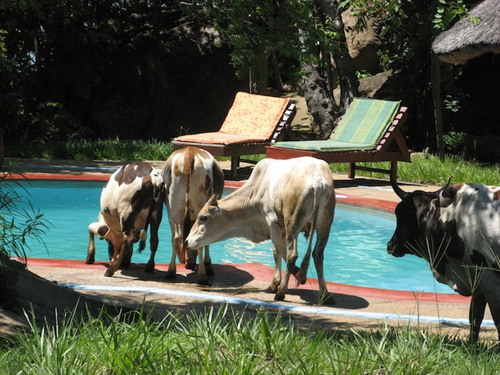 [Photo of cows beside a swimming pool]