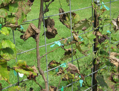 [Photo of diseased grape vine]