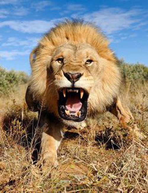 [Photo of a roaring lion]
