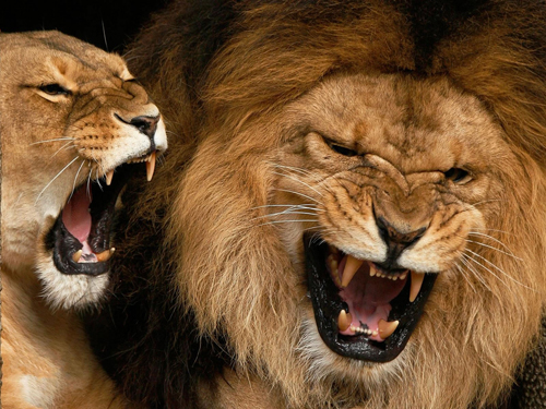 [Photo of roaring lions]