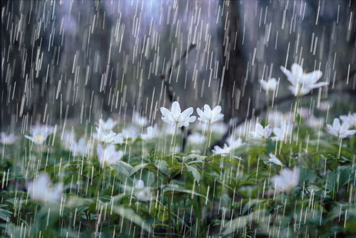 [Photo of rain falling on a flowered field]