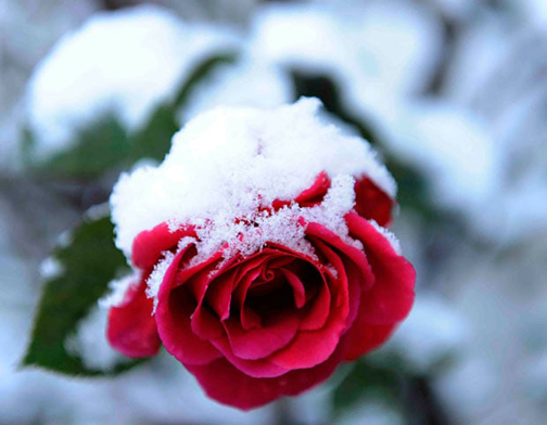 [Photo of snow covered rose]